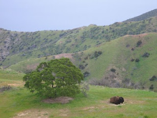Lone buffalo on Santa Catalina Island