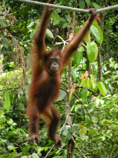 Orangutan Sepilok Borneo