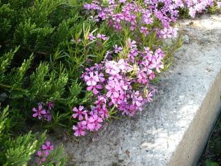 Kwitnący Floks szydlasty Blooming Phlox subulata