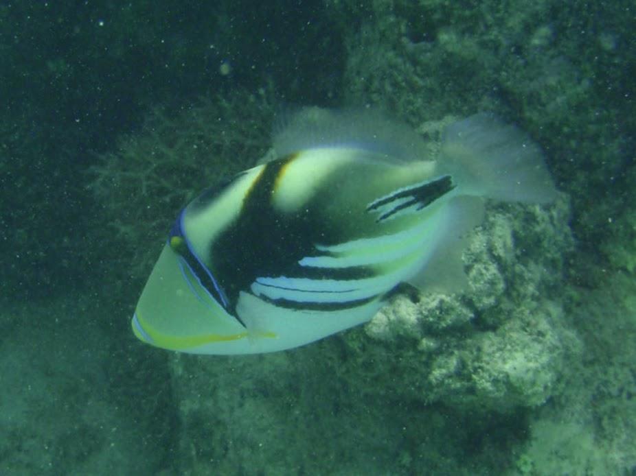 Rhinecanthus aculeatus (Picasso Triggerfish), Rarotonga.
