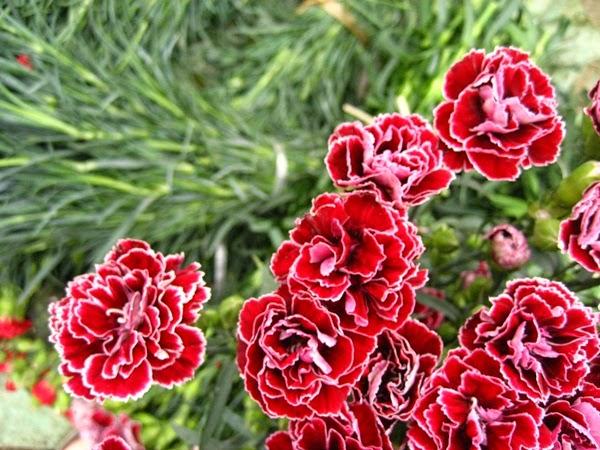 Hoa cẩm chướng kép 2