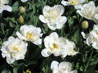Tulips in the Perennial Garden
