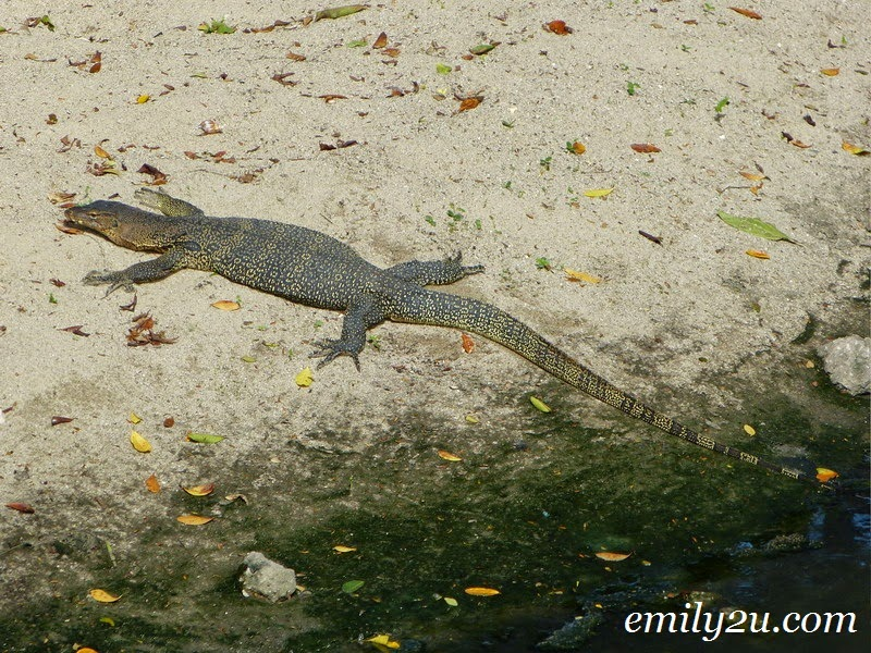 water monitor lizard biawak