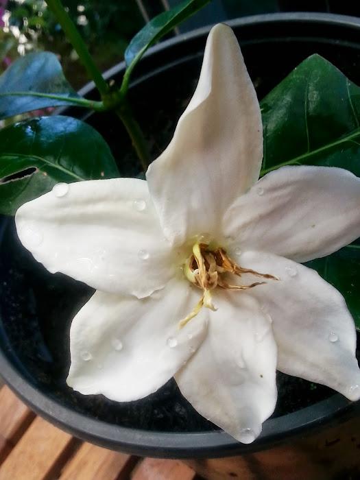 gardenia?,,? 20130805_120614