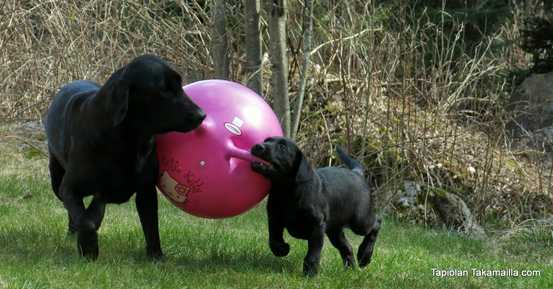 labradorinnooutajat leikkivät