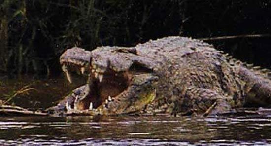 Questões e Fatos sobre Crocodilianos gigantes: Transferência de debate da comunidade Conflitos Selvagens.  - Página 2 Crocodile-gustave