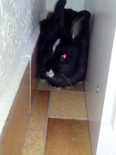 Pepper, lapin noir et blanc-[adopté] Pepper1-11a00