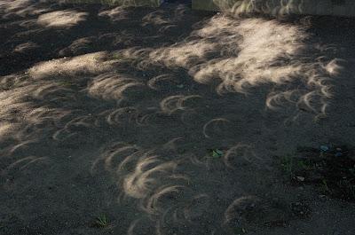 木漏れ日で見る金環日食(その5)