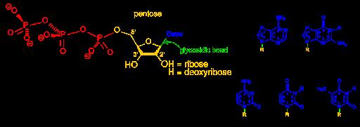 Nucleótidos y nucleósidos