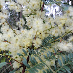 Wattle out in bloom (143661)