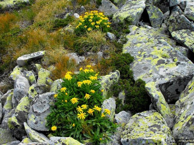 flora montana galbena - buchete de Spălăcioasă