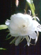 Emperor's Flower