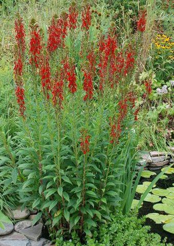 Лобелия кроваво-красная, (Лобелия кардинальская) (Lobelia cardinalis)