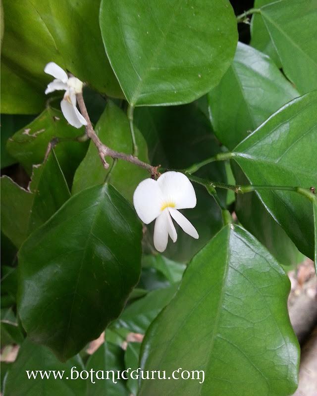 Baphia nitida, Barwood, Camwood, African sandalwood flower