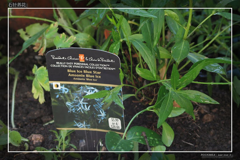 Willow Blue Star Amsonia Tabernaemontana Amsonia Tabernaemontana Blue