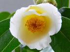 淡黄色 一重 筒咲き 短い筒しべ 小輪