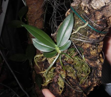 Растения из Тюмени. Краткий обзор Aerangis_citrata1