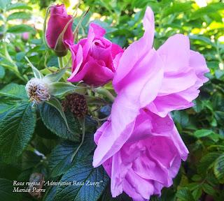 Rosa rigosa Admiration Rosa Marian Parra 99
