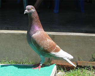 97  Gambar Burung Merpati Dasar HD Terbaru Free