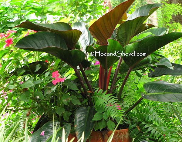 Hoe And Shovel Large Leaves Simply Exotic