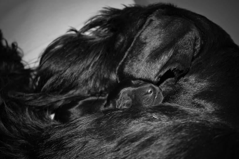 "Standard Black Schnauzer puppies - Kennel ""Flor D' Luna"" IMG_8488-4"