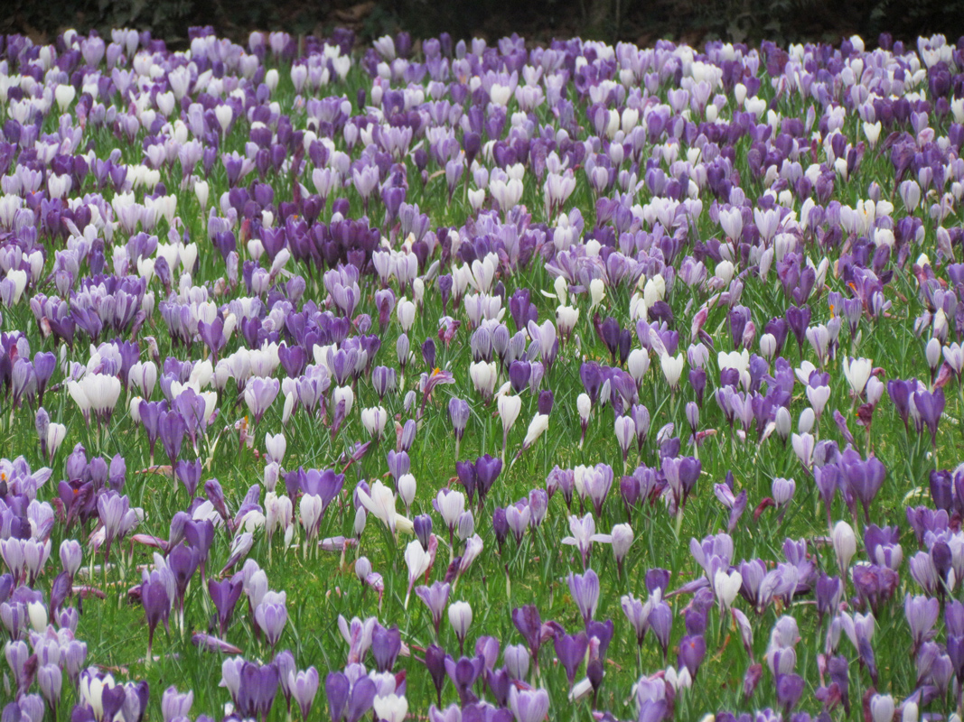 Alicia Merrett Carpet of early spring flowers Dartington Hall Gardens Devon