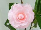 淡桃色 千重〜列弁咲き 中輪