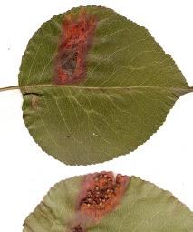 Objawy rdzy gruszy na liściu