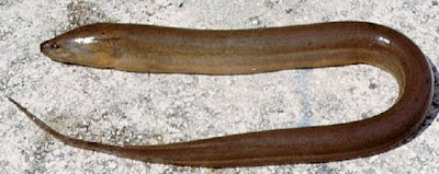 Ugly Fish of the Day: Asian swamp eel