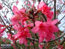 清水岩寺內的緋寒櫻(山櫻花)