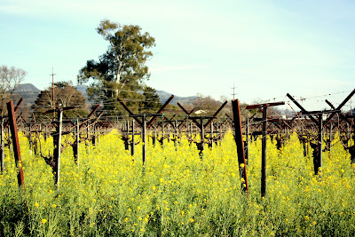 Yellow Flowers in a Vineyard in Napa
