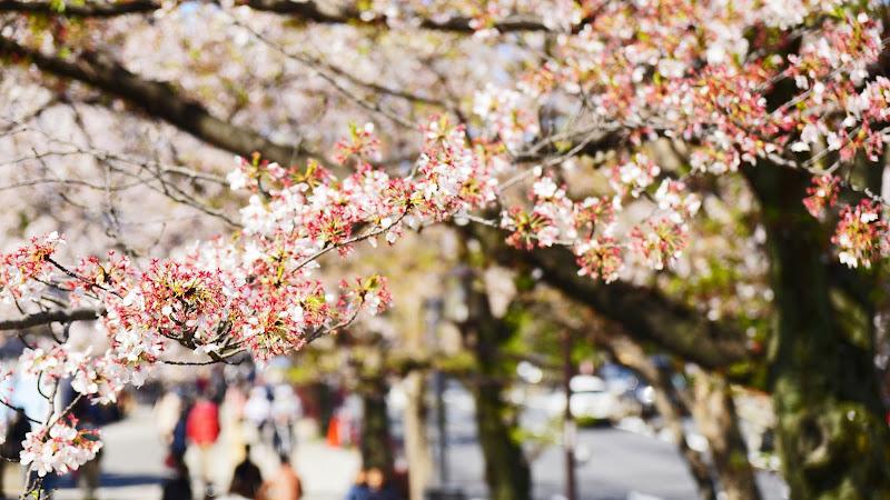 千鳥ヶ淵 桜 写真9
