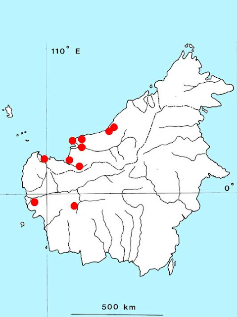 Криптокорина бледножильчатая (Cryptocoryne pallidinervia)