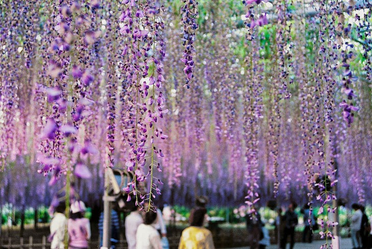 144 Year Old Wisteria in Ashikaga Flower Park Japan (11 Most Amazing Trees to Put On Your Bucket List).