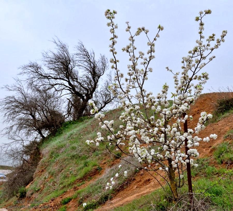 Цветущие деревья на Голанских высотах. Экскурсия на Голанские высоты. Гид в Израиле Светлана Фиалкова