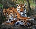 doia tigres