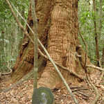 Post 3 a large Turpentine Tree (226186)