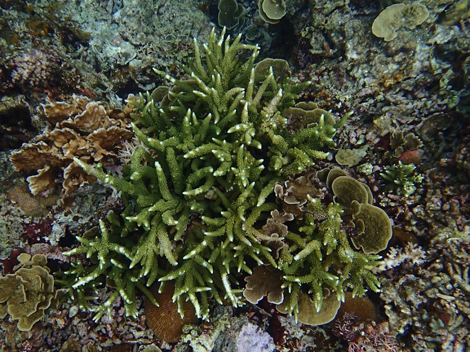 Acropora sp. Coral, Small Lagoon, Miniloc Island, Palawan, Philippines.