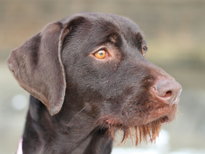Cadie - Chocolate Lab Pointer mix