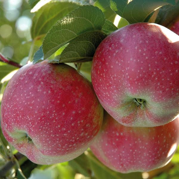 Алва яблоня купить