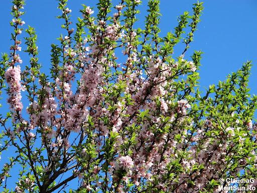 Pasti 2013 in Canada. Un copac cu flori
