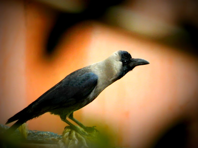 The house crow of Mumbai