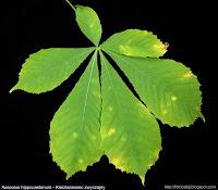 Aesculus hippocastanum leaf - Kasztanowiec zwyczajny liść