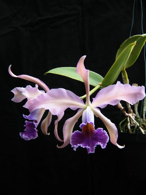 Растения из Тюмени. Краткий обзор - Страница 10 CwhiteicoeruleaIMG_6734