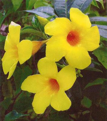 Golden trumpet medicinal plantshealing golden trumpet mightylinksfo