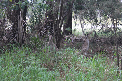 Kangaroos at camp - Woodgate