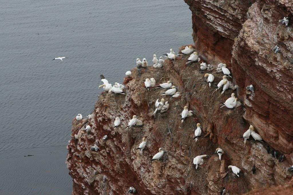 Zu Tausenden nisten die Seevögel in den schmalen Felsspalten. Fotos: Thomas Limberg
