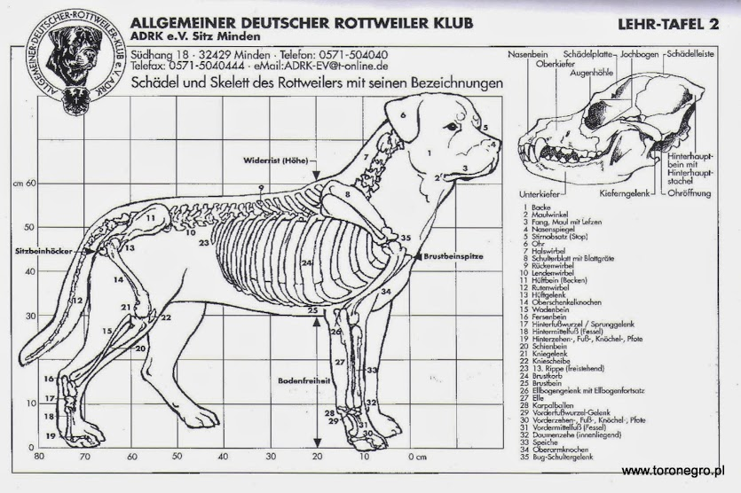 perfekcyjny rottweiler wzorzec rottweilera