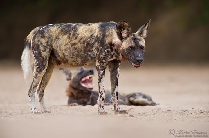 wilddog_profile_4_ManaPools_2012.jpg