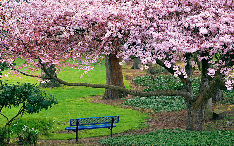 Park bench with cherry trees